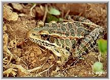 Frog FC000058.jpg