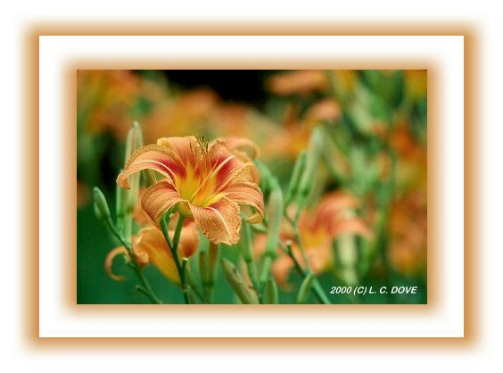 GE000536.JPG/Orange Daylilies